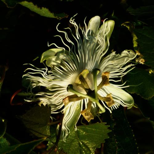 Wild White Pasion Flower