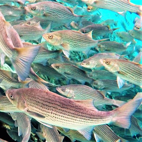 Silver Glen fish