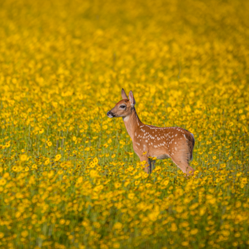 Deer fawn in field of flowers