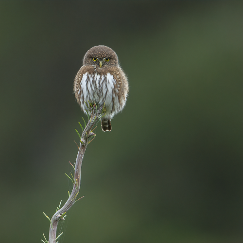 Northern Pygmy Owl glare