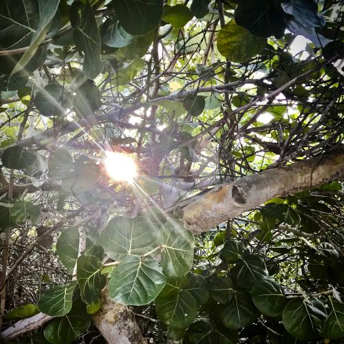 Sun Through Mangrove