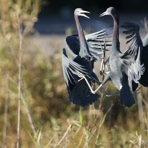 Little Blue Herons Having A Scrap