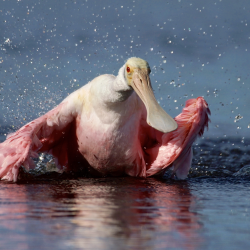 Roseate Spoonbill Taking A Bath