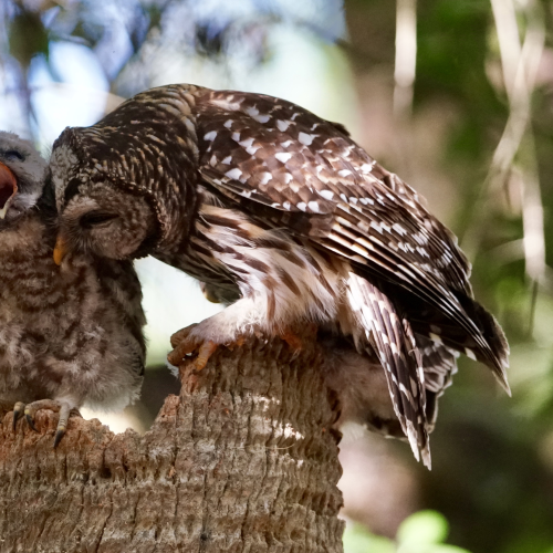 2nd Place - Feed Me Mumma Says The Baby Barred Owlet