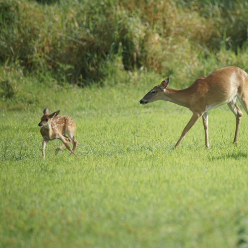 Twin Fawns With Mumma Playing In The Field