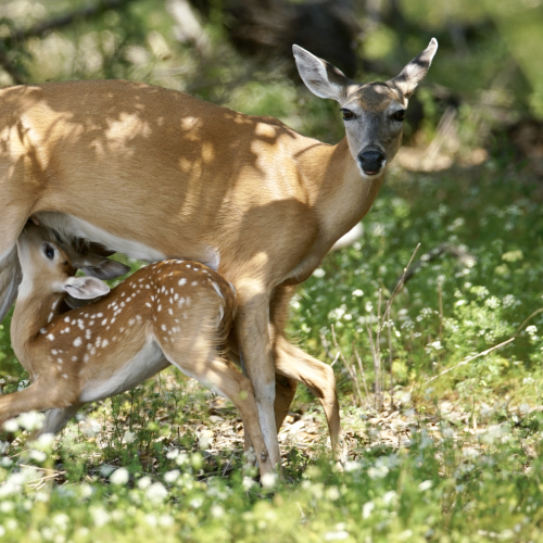 Baby Fawn Feeding Off Mumma Deer