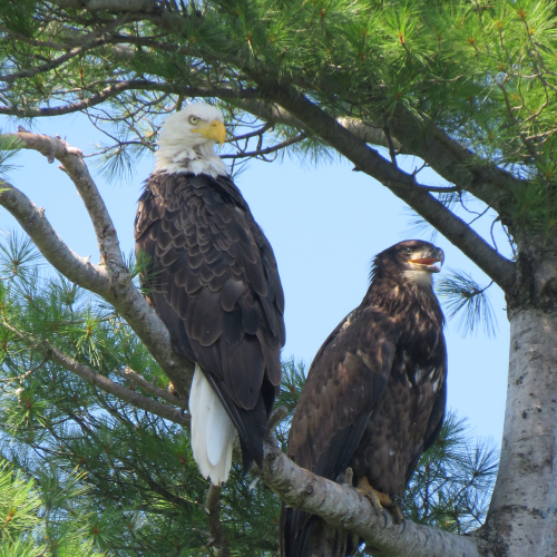 Bald Eagle and Eaglet in Eastern Ontario