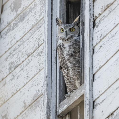 White owl, white barn