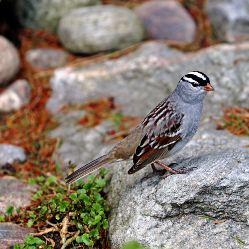 White Crowned Sparrow On The Rocks