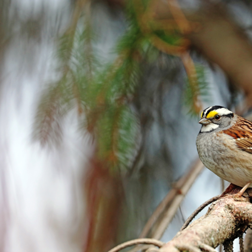 White Throated Sparrow In Spruce Tree