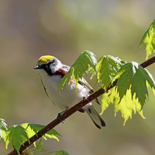 Chestnut Sided Warbler In Maple Tree