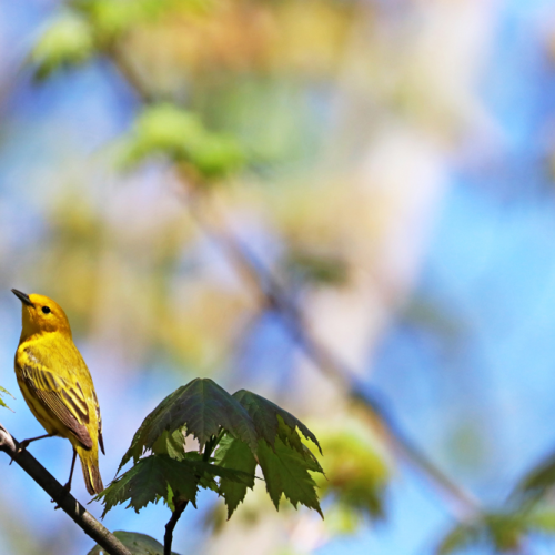 Yellow Warbler In Maple Tree
