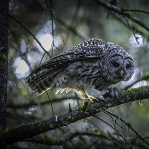 A Barred Owl with It's Prey