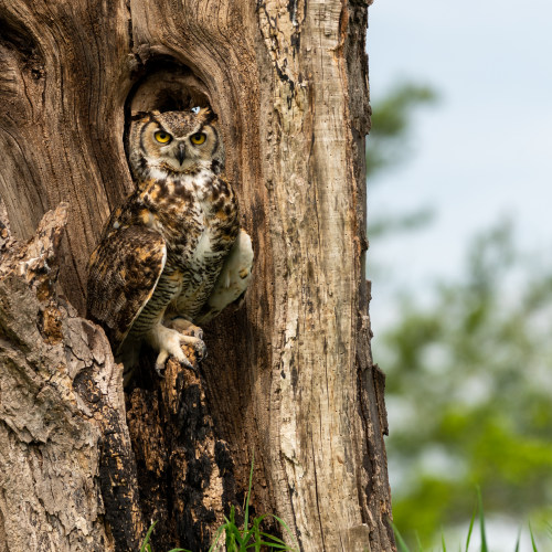 Great Horned Owl on his Throne