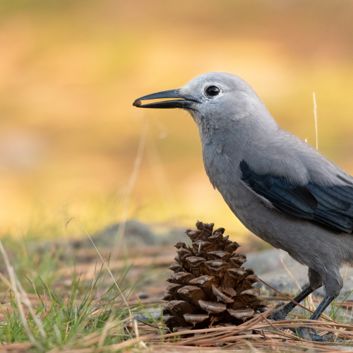 Clark's Nutcracker with a pine seed.