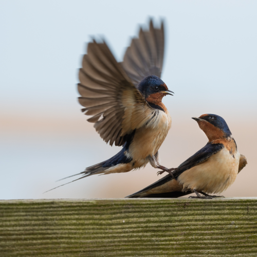 Swallow fight