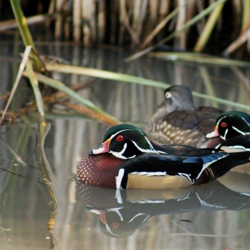 Mating Wood Ducks