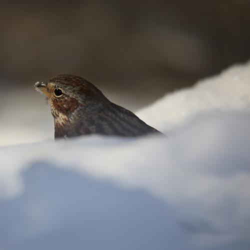 Snowy beak