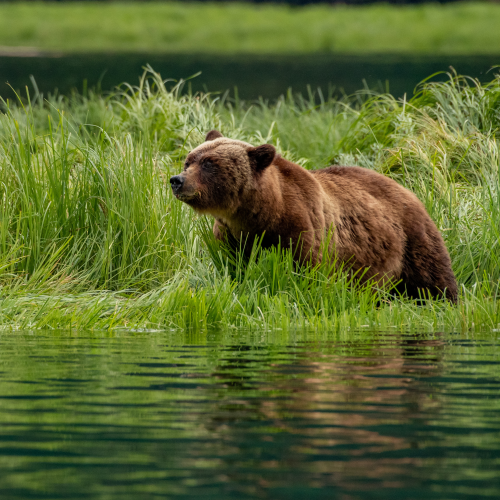 Mother Bear in Summer Sedges