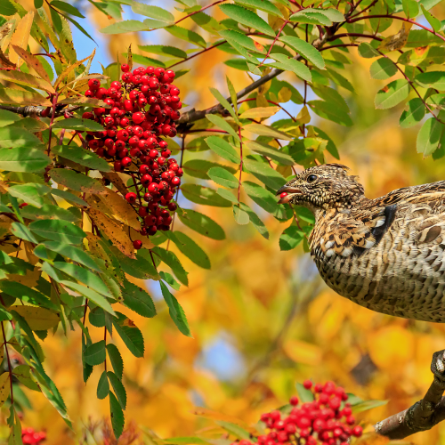 Female Spruce grouse feeding on mountain ash berries in the Fall
