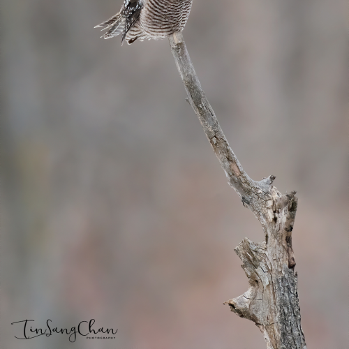 Northern Hawk owl Looking For Prey