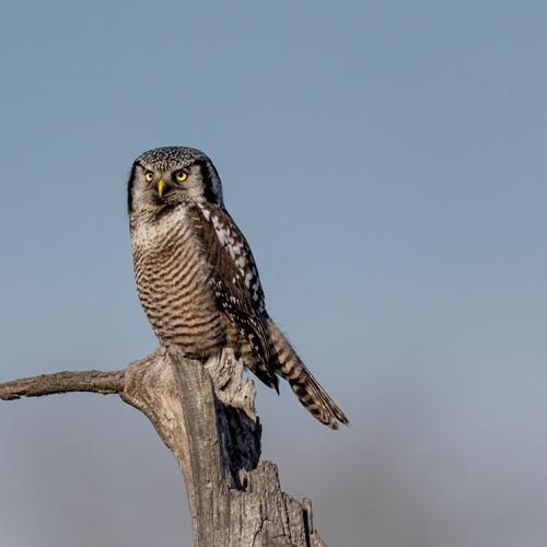 Northern Hawk owl Looking