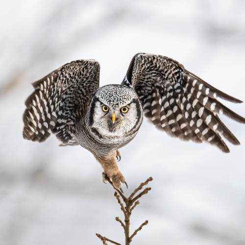 Northern Hawk Owl taking off