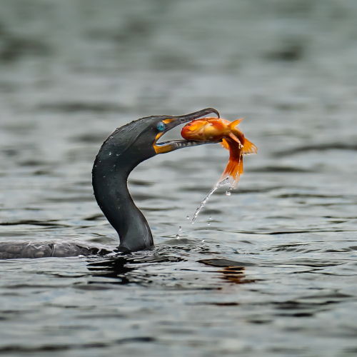Double-crested cormorant pulling a fish out of water