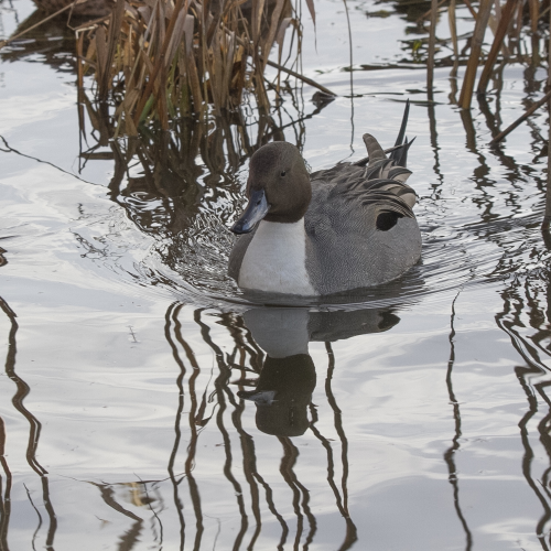 Lined up Pintail