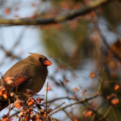 Cardinal at sunset