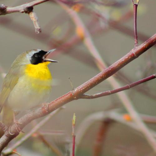 Yawning Yellowthroat