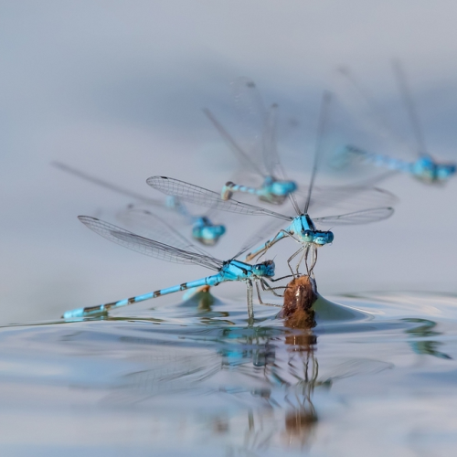 Damsleflies jockeying for a perch