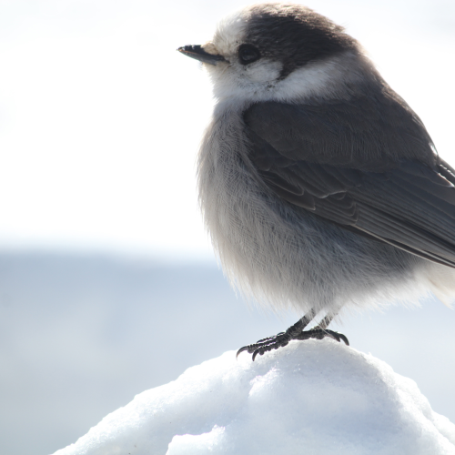 Canada's national bird