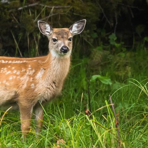 No Fear Deer