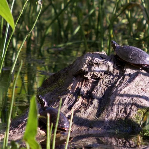 Turtle x3