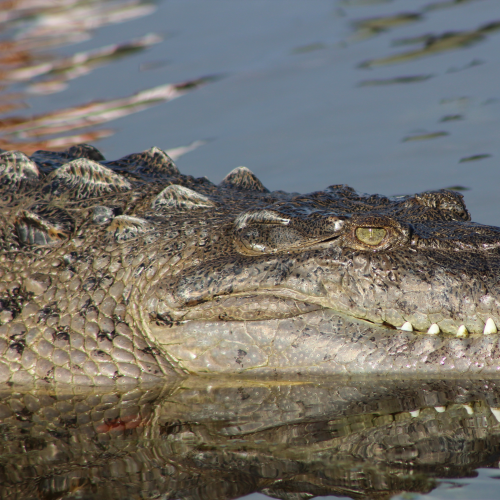 The Sitting Crocodile