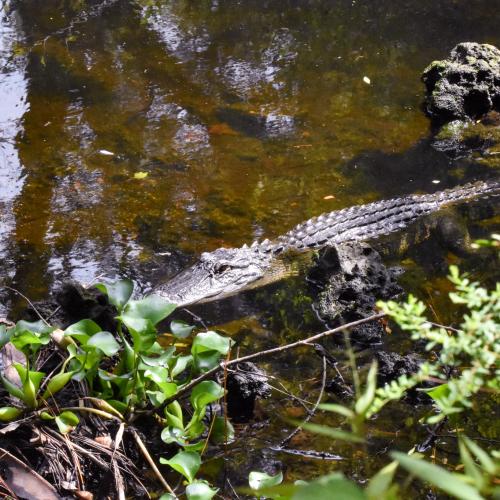 Inquisitive Alligator