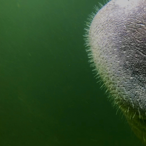 Looking Into the Eyes of the Manatee