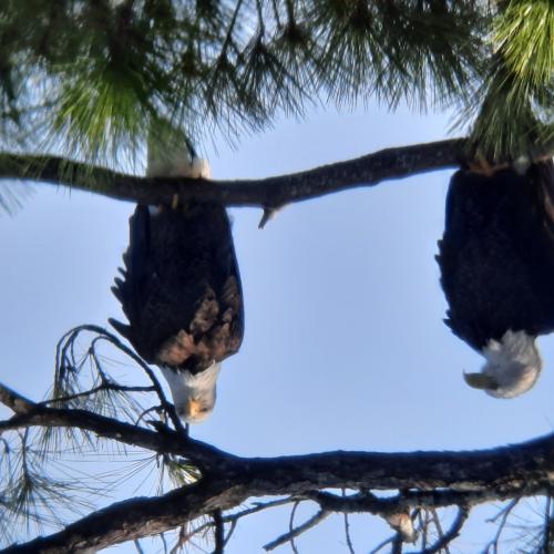 Bald Eagles at Hurricane Lake