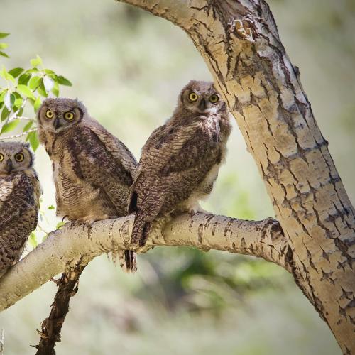 'Three in a Tree'