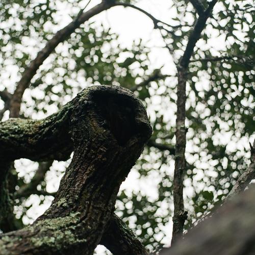Fiddler Oak