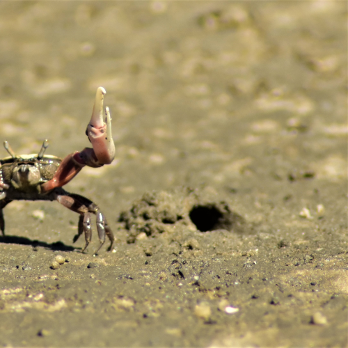 Fiddler Crab Defending it's Home