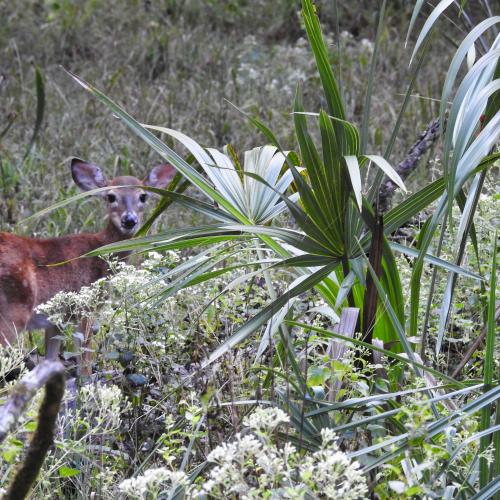 Peek-a-boo Deer