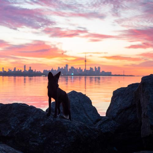 A Fox and Toronto Pt. 1