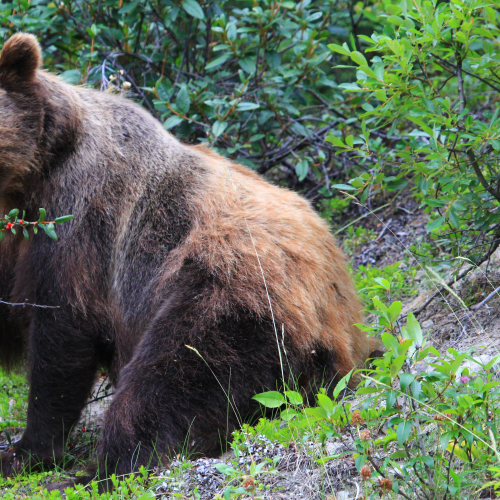 Grizzly Eating Buffalo Berries
