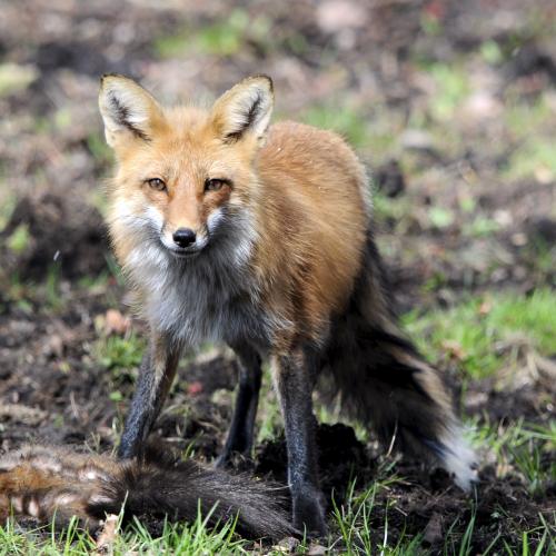Red Fox, Black Squirrel
