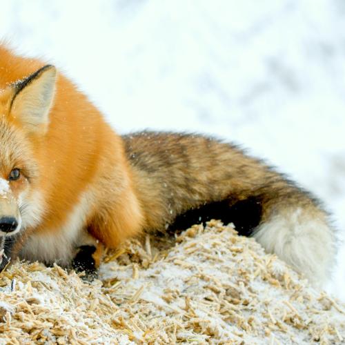 Sassy Red Fox
