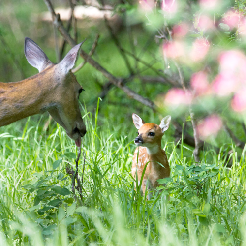 Doe and Fawn share a tender moment