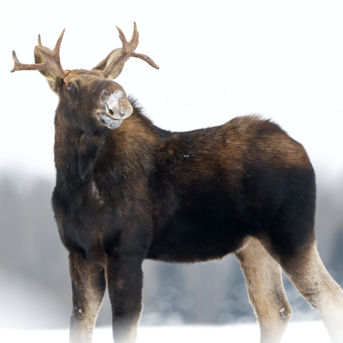 Proud Moose