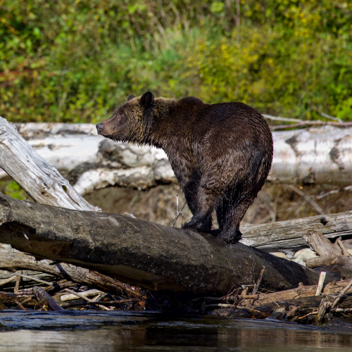 Grizzly in the Log Jam